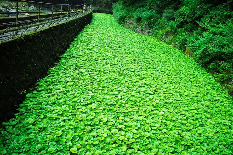 Fresh green wasabi stream