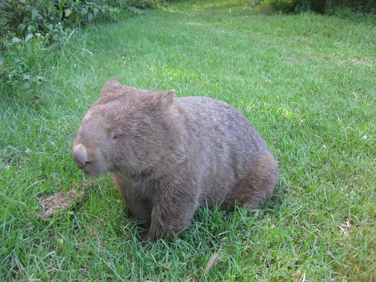 Wombat at Bendeela campground
