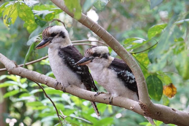 A kookaburra family portrait