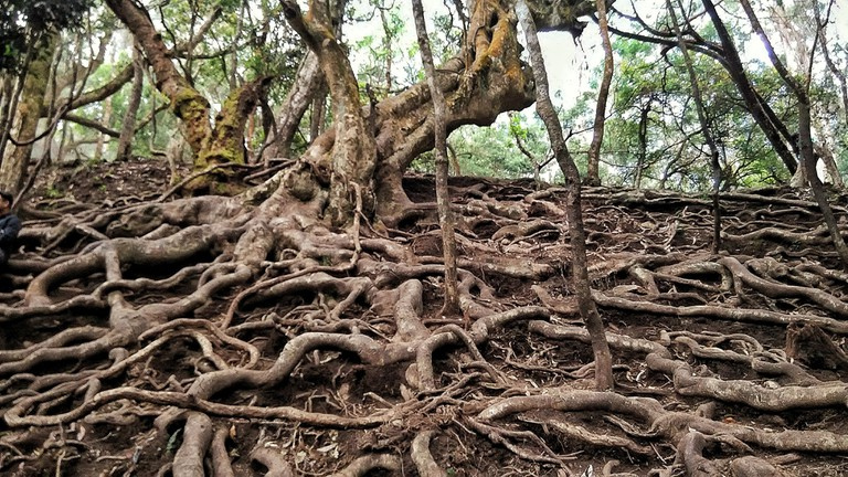 The serpentine roots seen during the walk to Guna Caves