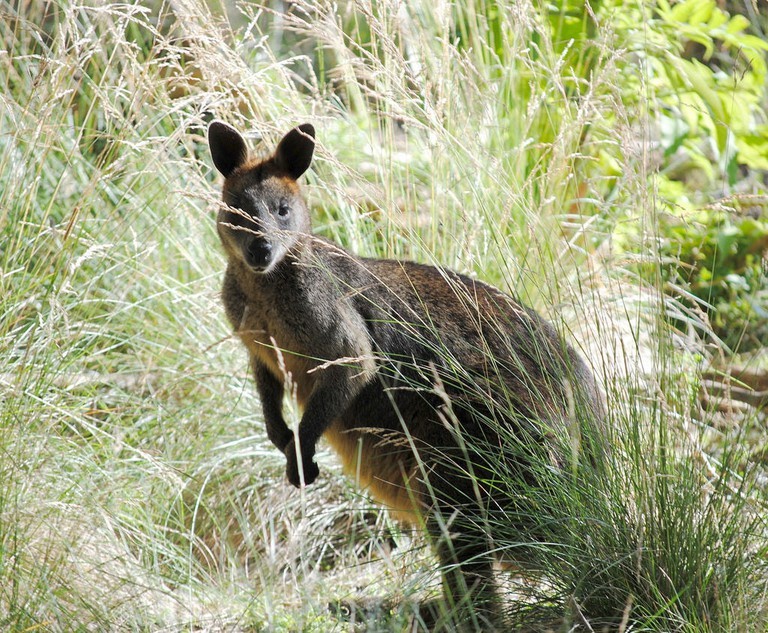 Swamp wallaby on Phillip Island