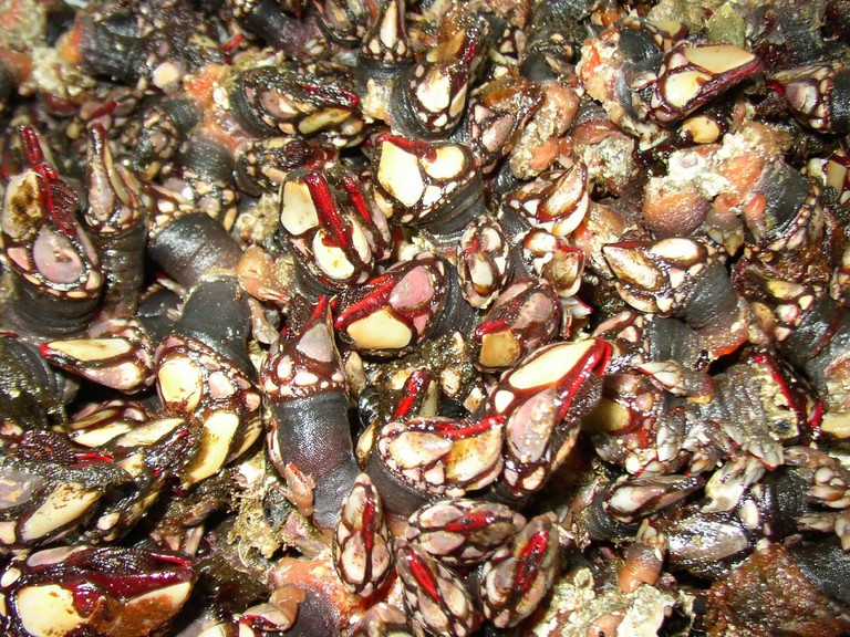 Percebes or goose barnacles