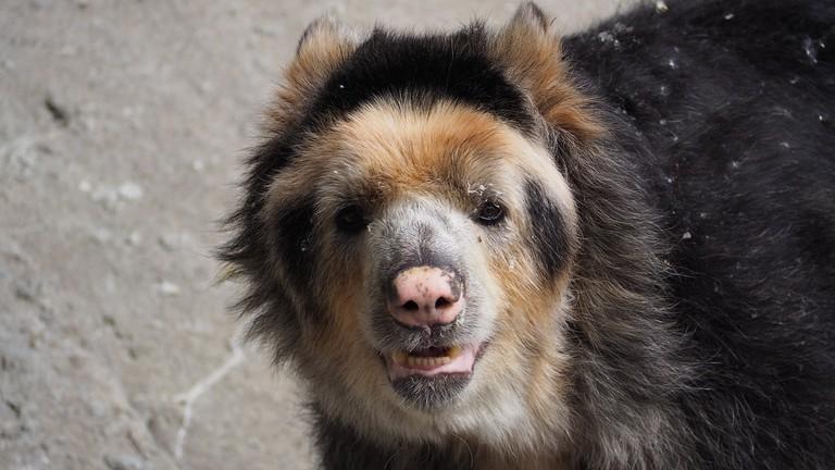 andean-bear-1421851_1280