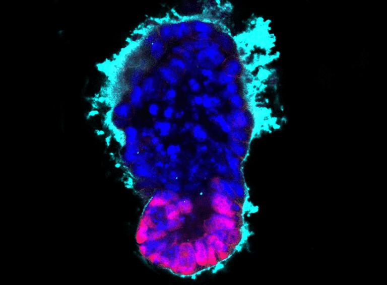 artificialembryo