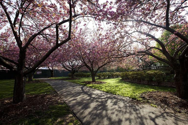 The Cherry Esplanade at Brooklyn Botanic Garden
