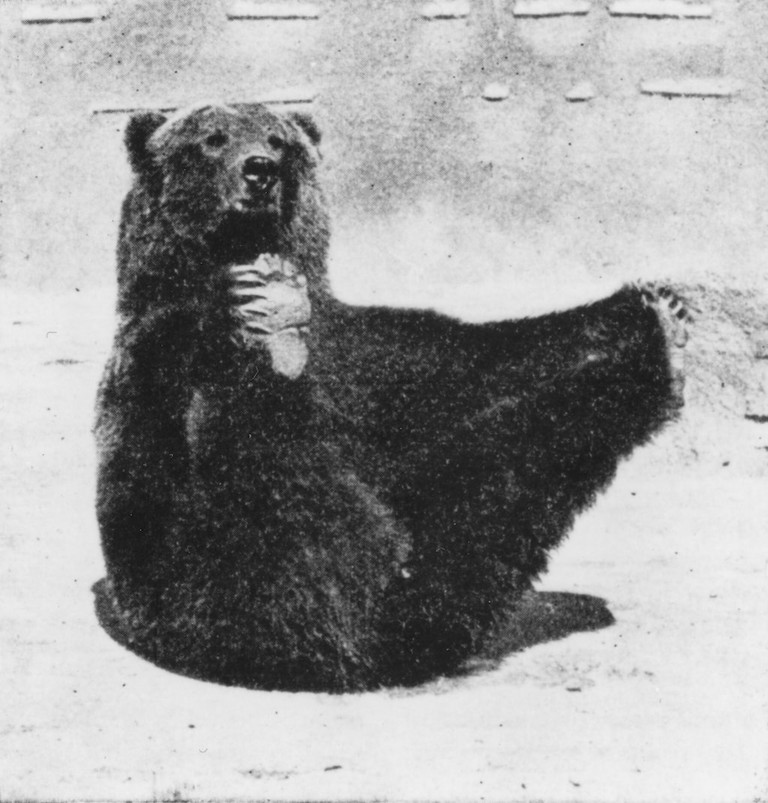 Caesar bear