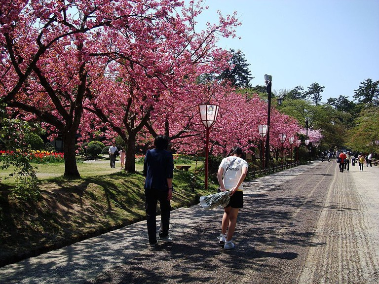 Cherry_blossoms_in_Hirosaki_castle_park_-_panoramio