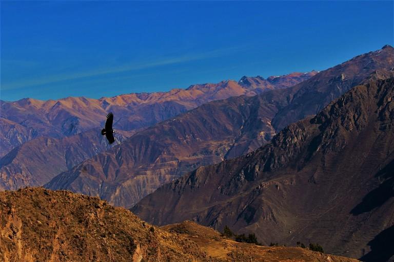 A condor over Colca Canyon