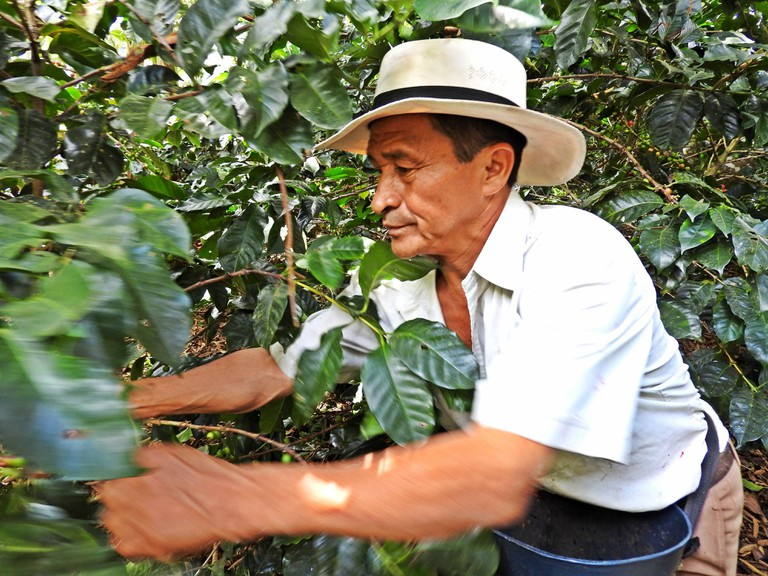 Harvesting coffee beans by hand in Colombia
