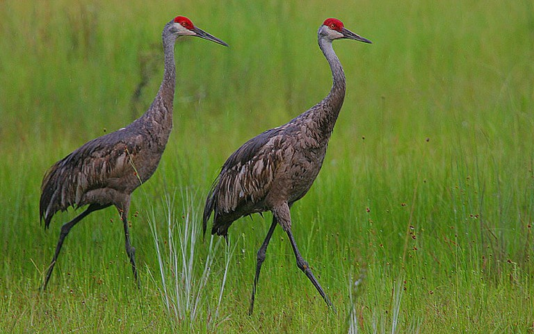 Some people think witnesses have actually spotted a large Sandhill Crane