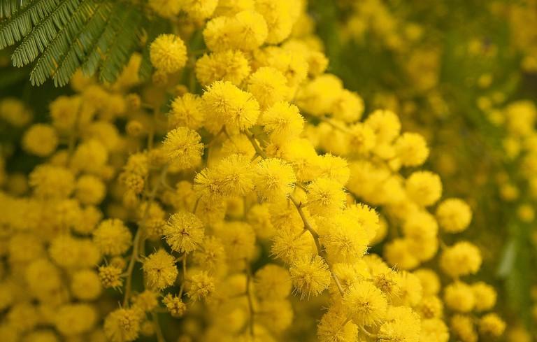 https://pixabay.com/en/flower-mimosa-spring-provence-3123134/