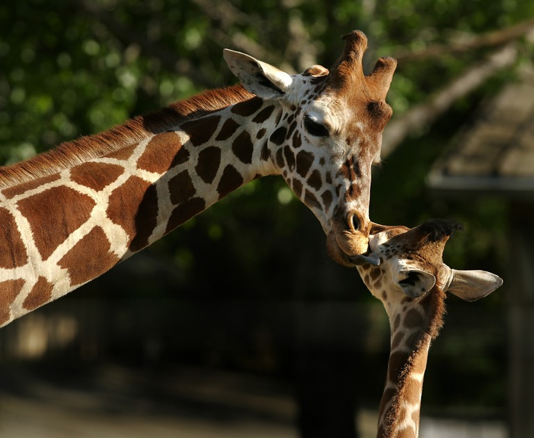 Giraffe_Mom_and_Baby-Sarah-JaneTarr