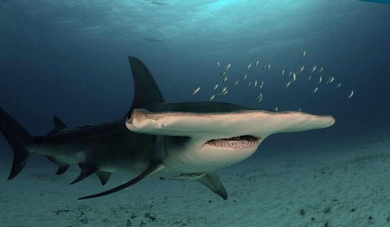 Great hammerhead | © Albert Kok:Wikimedia Commons