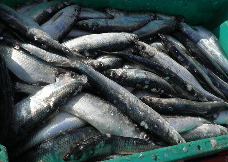 herring-1242193_640