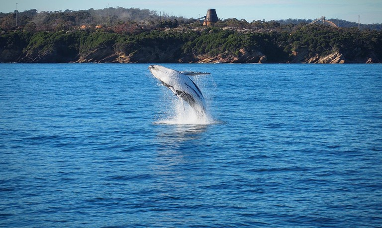 Humpback breaches in Twofold Bay, Eden