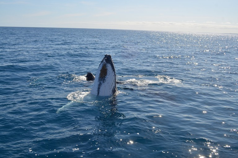 Humpback whale in Hervey Bay © eGuide Travel / Flickr