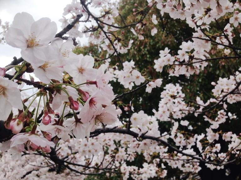 cherry_blossom_sakura_osaka_castle_park