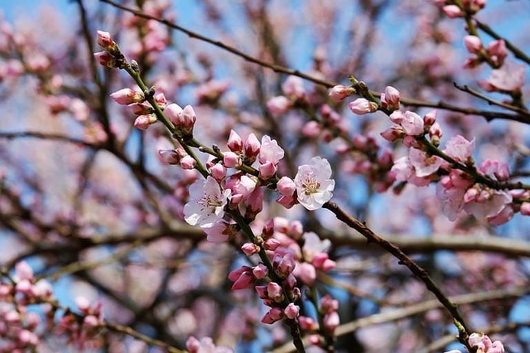 japanese-cherry-trees-3259835_640
