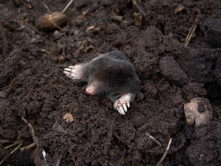 mole-nature-animals-molehills-88512