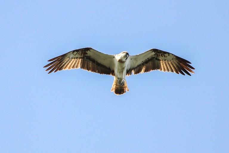 osprey-1775840_960_720