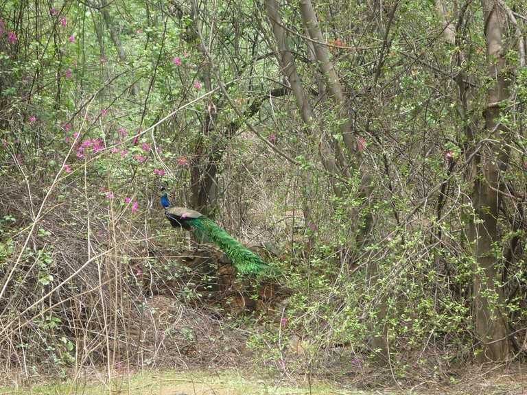 Peacock_in_its_habitat-2