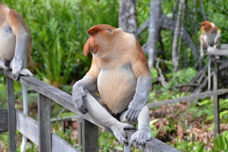 The rare Proboscis Monkeys can be seen in Borneo | © Pixabay
