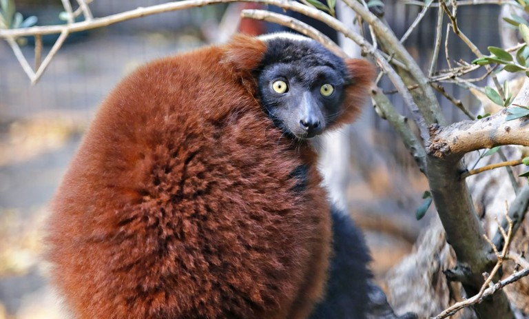 rsz_red_ruffed_lemur-willbucquoy_1