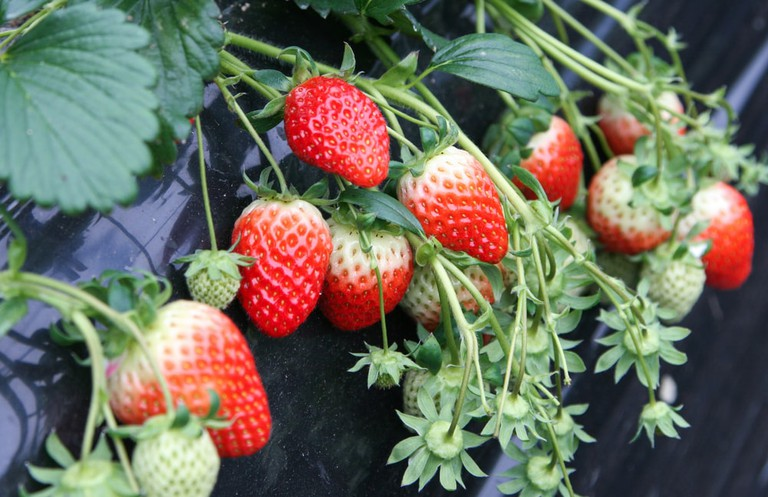 Strawberry Farm, Korea | © Puripong Ponpimonpat/Shutterstock