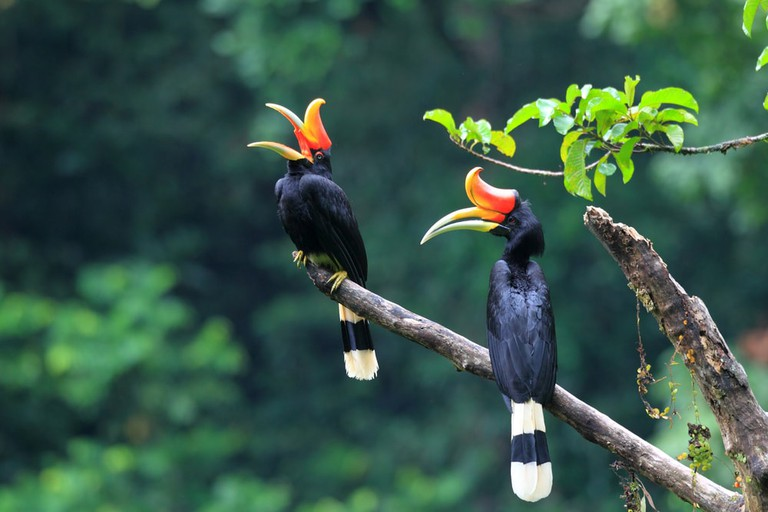 Rhinoceros Hornbill, Indonesia | © feathercollector/Shutterstock