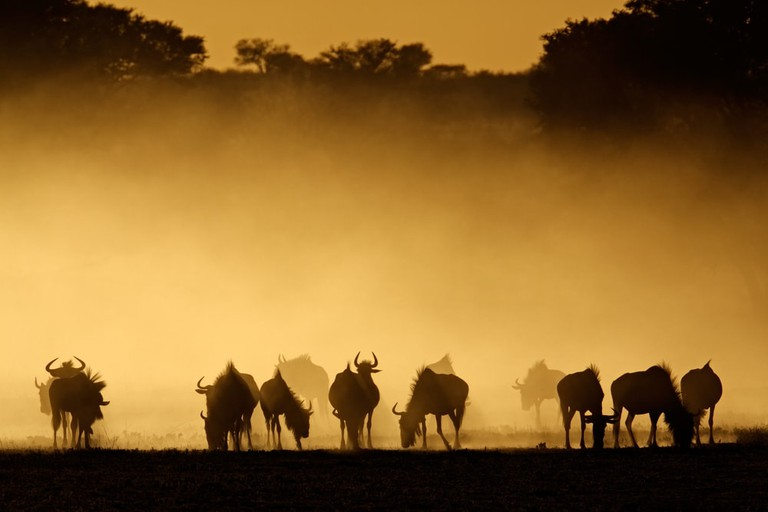 Blue wildebeests in South Africa