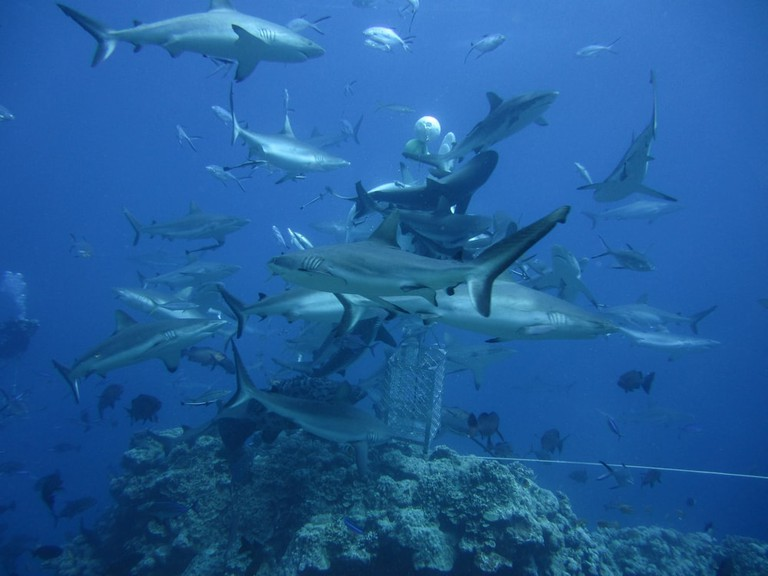 Shark feeding at Osprey Reef