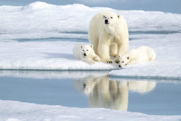 Polar bears in the Norwegian Arctic, Svalbard