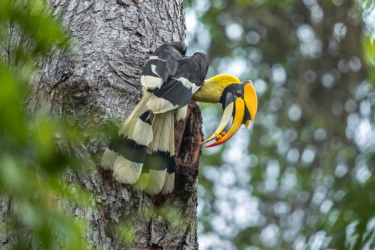 Great Hornbill, Thailand | © Red ivory/Shutterstock