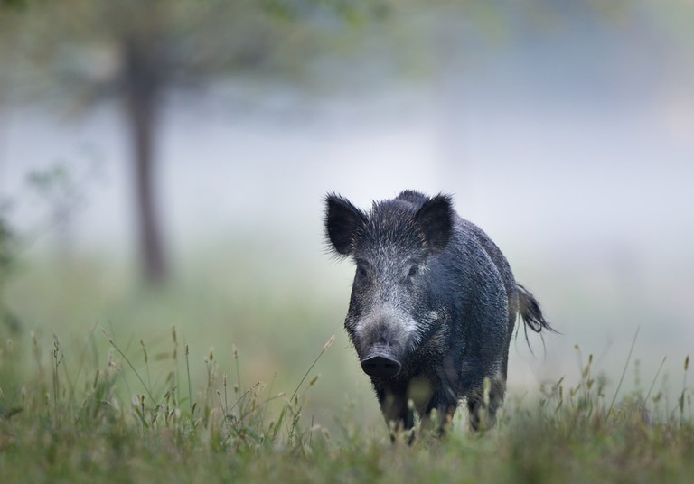 Wild boar roaming the forests