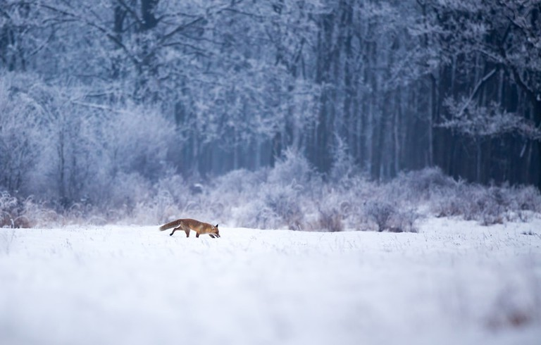 A red fox, stalking its way through the winter wonderland