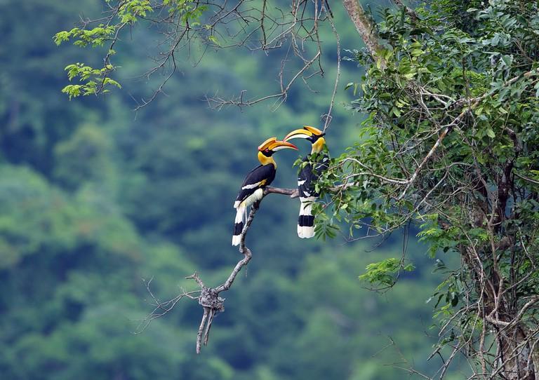 Great Hornbill | © teekayu/Shutterstock