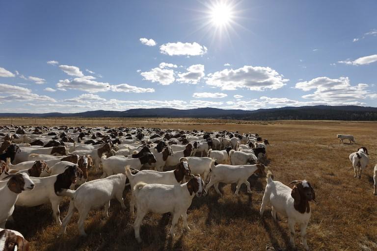 silvies-valley-ranch-goat-caddies-2
