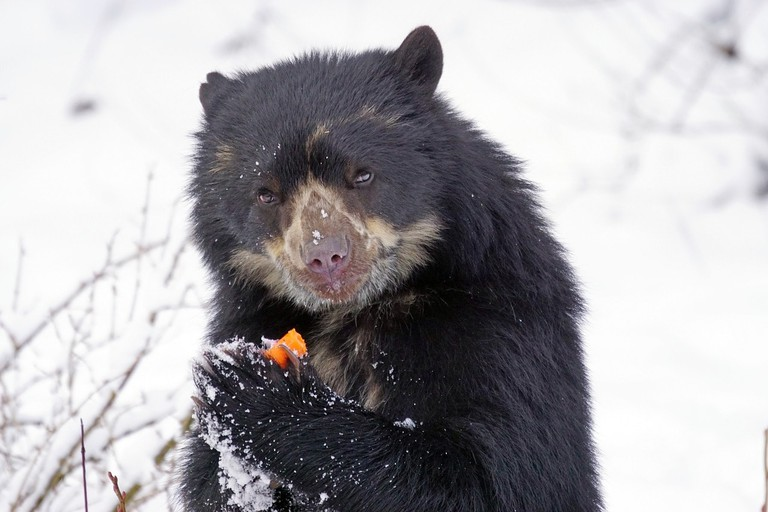 spectacled-bear-1972749_1280