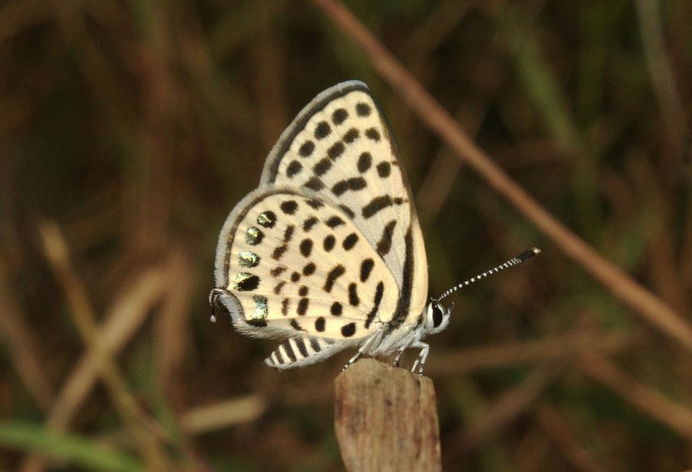 Spotted_Pierrot_Tarucus_callinara_at_Delhi_by_Dr._Raju_Kasambe_(4)