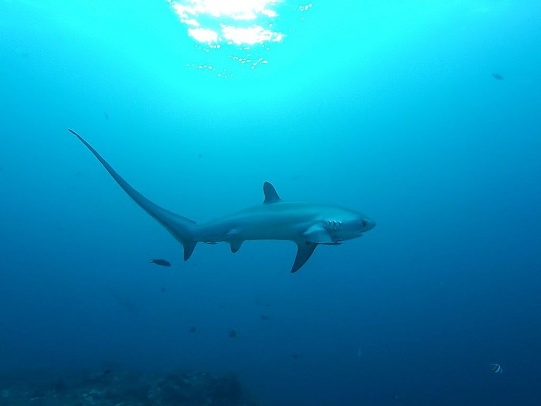 Thresher shark | © Thomas Alexander:Wikimedia Commons