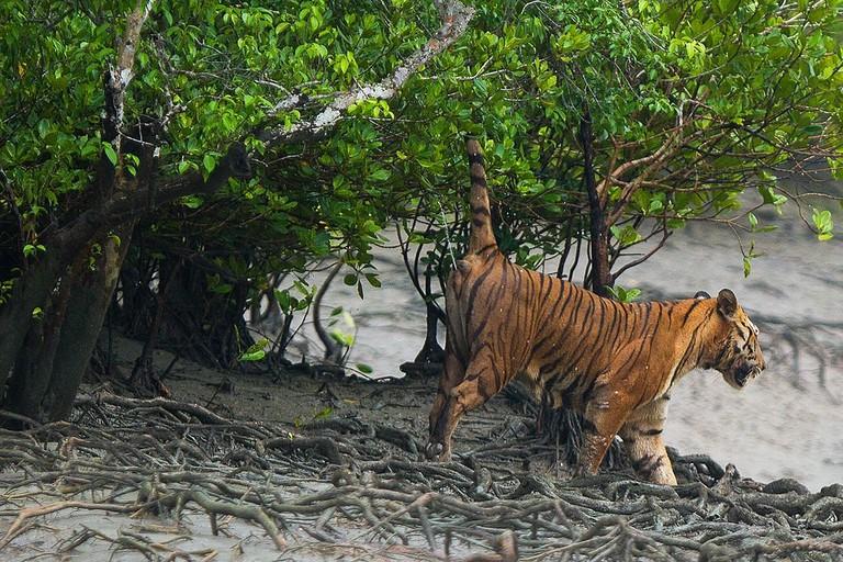 Tiger Soumyajit Nandy WikiCommons