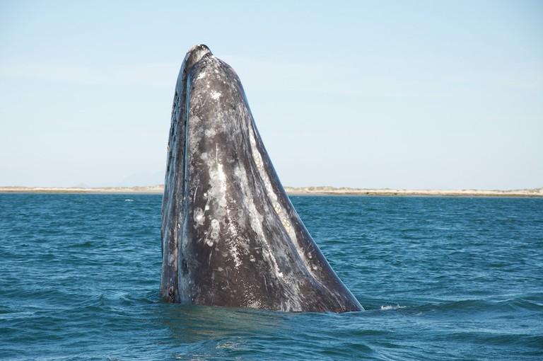 A gray whale.
