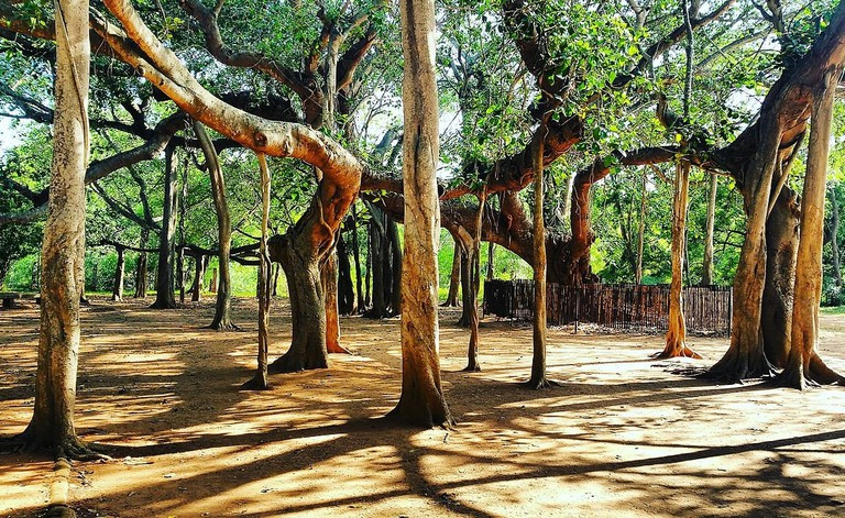 The 100 plus year old Banyan tree around which Auroville was set-up