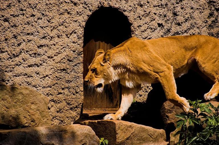 A lion in ARTIS