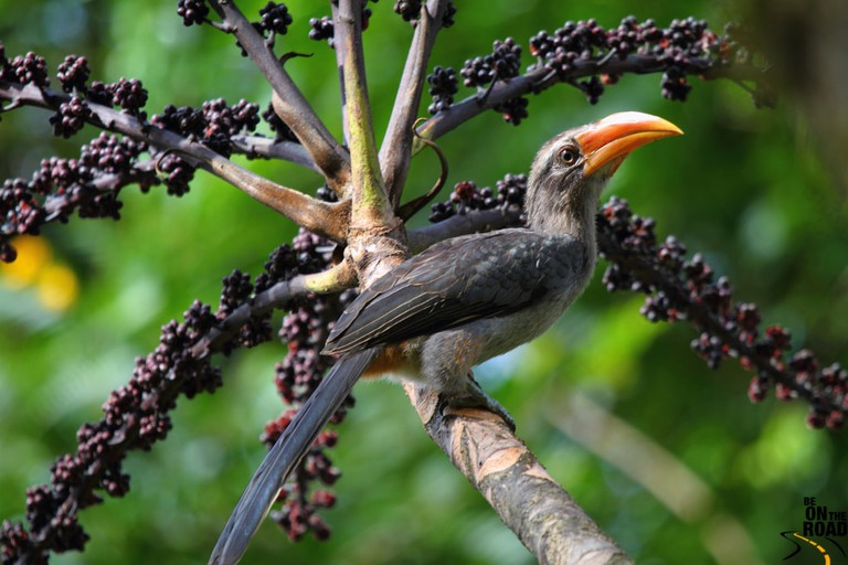 Malabar Grey Hornbill is endemic to the Western Ghats and associated hills of southern India