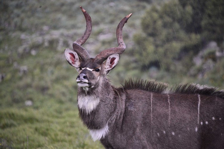 Found in the Bale Mountains, Mountain nyala are endemic to Ethiopia