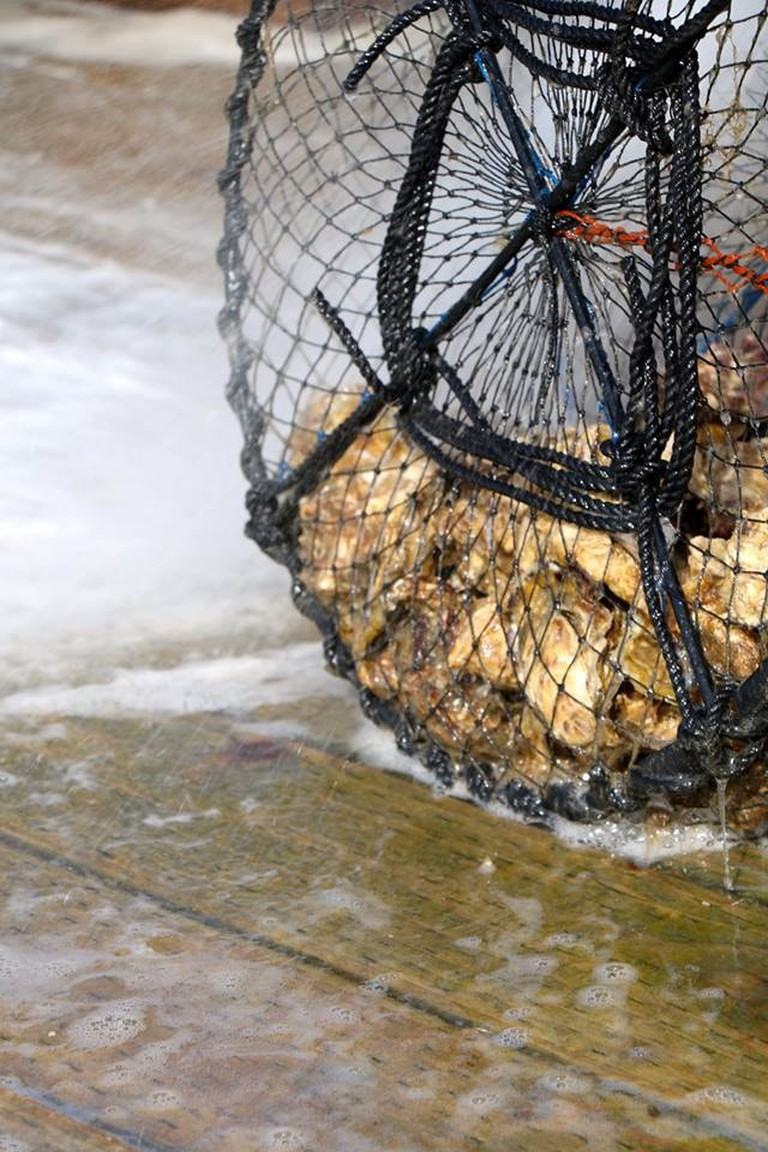 An oyster farmer cleans the nets
