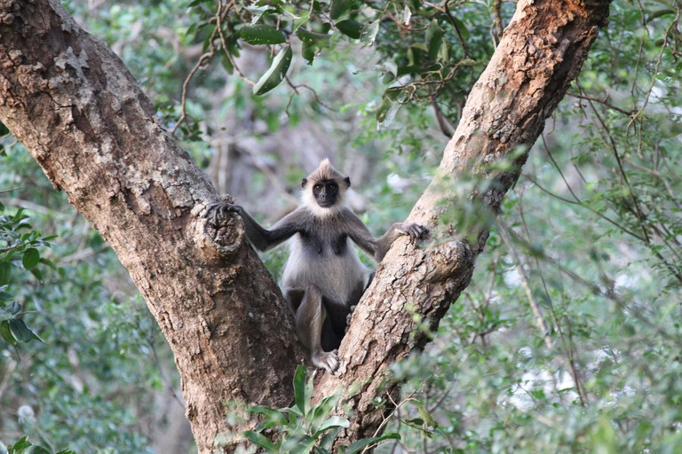Tufted Grey Langur