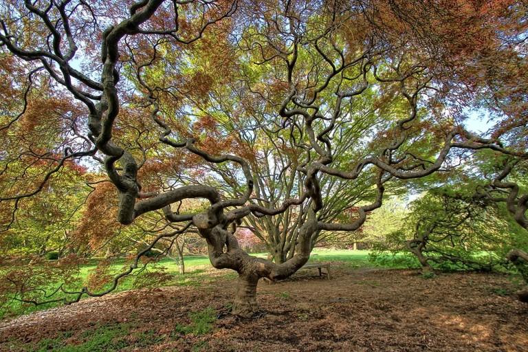 Japanese maple tree, Cylburn Arboretum, Baltimore, Maryland