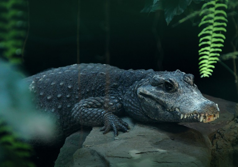 One crocodile you're certain to see in Bristol is the pygmy crocodile in the zoo
